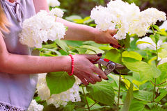 Woman cut a bouquet of flowers white hydrangeas. With pruning scissors. Garden work on a blooming hydrangea Royalty Free Stock Photo