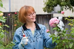 Woman cut roses in garden. Woman is having good time with her hobby by cutting roses in her garden at her backyard royalty free stock photography