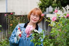 Woman cut roses in garden. Woman is having good time with her hobby by cutting roses in her garden stock photography