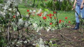 Woman cut tulip garden. Woman in jeans and rubber boots cut red tulip flowers in spring garden. View through fruit tree twig blooms stock footage