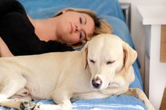 Woman with cute dogs at home. Handsome girl resting and sleeping with her dog in bed in bedroom. Owner and dog sleeping in sofa. Yellow labrador retriever royalty free stock image