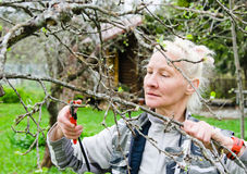 Woman cuts a branch at an Apple-tree in the garden Stock Photo