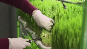 Woman cuts young sprouts of wheat, closeup.