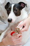 Woman cutting dog claws royalty free stock photo