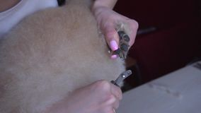 A woman is cutting a dog`s nails stock video footage