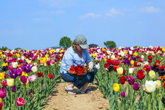 Woman cutting fresh tulips at the field Stock Image
