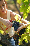 Woman cutting grapes Royalty Free Stock Photos