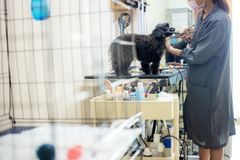 Woman are cutting hair and cleaning a dog. Woman are cutting hair and cleaning a dog in pet store royalty free stock photos