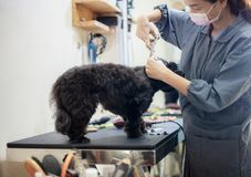 Woman are cutting hair a dog. Woman are cutting hair a dog in pet shop royalty free stock photography