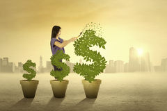 Woman cutting the money tree. Portrait of woman cutting the leaves of money tree to maintain its growth in the morning Stock Photos