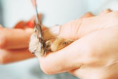 Woman cutting nails of domestic cat. stock photography