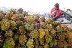 Woman cutting open durian fruit Royalty Free Stock Image