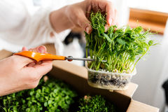 Woman cutting pea sprouts. A woman cutting a bunch of green pea sprouts from a pot of microgreens Stock Images