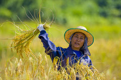 Woman cutting rice. Hard working woman cutting rice in the fields Royalty Free Stock Photos