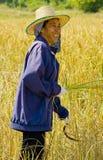 Woman cutting rice Royalty Free Stock Image