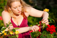 Woman cutting the roses in garden Stock Photography