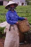 Woman cutting tea Royalty Free Stock Photos