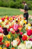 Woman is cutting tulips on a field Royalty Free Stock Photography