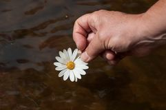 Woman with daisy in hand above the water. Closeup of woman with daisy in hand above the water stock photo