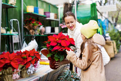 Woman with daughter looking at flowers of Euphorbia pulcherrima Stock Photos