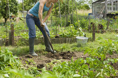 Woman Digging On An Allotment royalty free stock photography