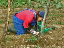 Woman digging tomato seedling Royalty Free Stock Images