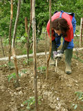 Woman digging tomato seedlings. A woman in the field digging around small tomato seedlings royalty free stock image