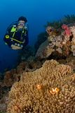 Woman diver behind big anemone and soft coral. Indonesia Sulawesi Lembehstreet. Woman diver behind big anemone and soft coral near surface. The diveboat is Royalty Free Stock Photos
