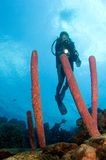 Woman diver pointing light at Caribbean sponge. Bonaire Royalty Free Stock Photo