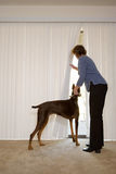 Woman with Doberman looking out of blinds Stock Photos