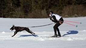 Woman with dog attending at skijoring race during winter time. Woman powered by her dog cruising through snow covered fields during skijoring race royalty free stock photography