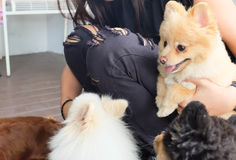 Woman and dog. Woman and Pomeranian dogs on the floor royalty free stock image