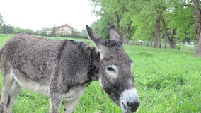 Woman donkey feed grass stock video footage