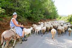 Woman on a donkey with his flock of sheep and goats Stock Photos