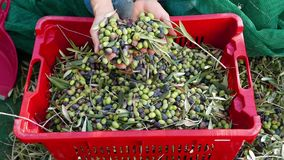 Woman dropping olives from hands to plastic box. Olive oil production, harvest in autumn. Taggiasca cultivar, Liguria, Italy. Slow