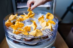 Woman drying chanterelles Stock Images