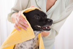Woman Drying Her Dog With Towel At Home. Close-up Of Woman Drying Her Dog With Towel At Home Stock Photos