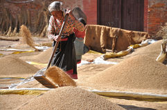 Woman drying rice Stock Image