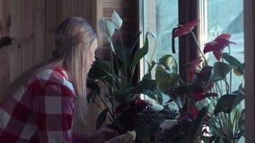 Woman dusting plant leaves in window stock footage