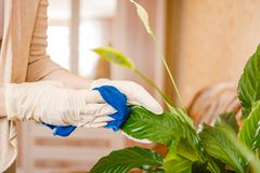 The woman dusts a flower. Cleaning in the house, purity in the house. Care of flowers. Royalty Free Stock Photo