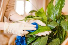 The woman dusts a flower. Cleaning in the house, purity in the house. Care of flowers. Stock Photos