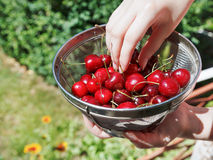 Woman eats ripe red sweet cherries Royalty Free Stock Photography