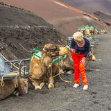 Woman ejnjoys looking to camels for a camel ride Royalty Free Stock Image