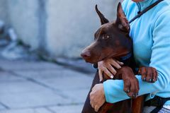 Dog breed Doberman Pinscher Royalty Free Stock Images