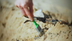 The woman is engaged in excavating bones in the sand, Skeleton and archaeological tools. 4k stock video