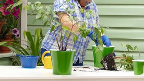 A woman is engaged in transplanting indoor plants on the street. A woman lifts a pot for an indoor flower and leaves the frame stock video