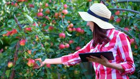 Woman farmer or agronomist examines the harvest of apples, makes notes in the tablet. on farm, in garden. on sunny