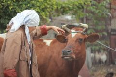 Woman farmer feeding a cow. сoncept of: breeding royalty free stock images