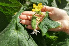 Woman farmer hands check a cucumber on organic farm after rain