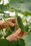 Woman farmer hands picking a cucumber